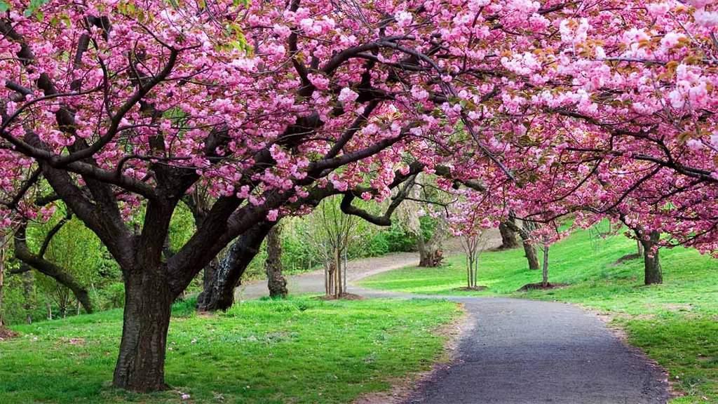 Taman Sakura di Kebun Raya Cibodas tempat wisata di bogor