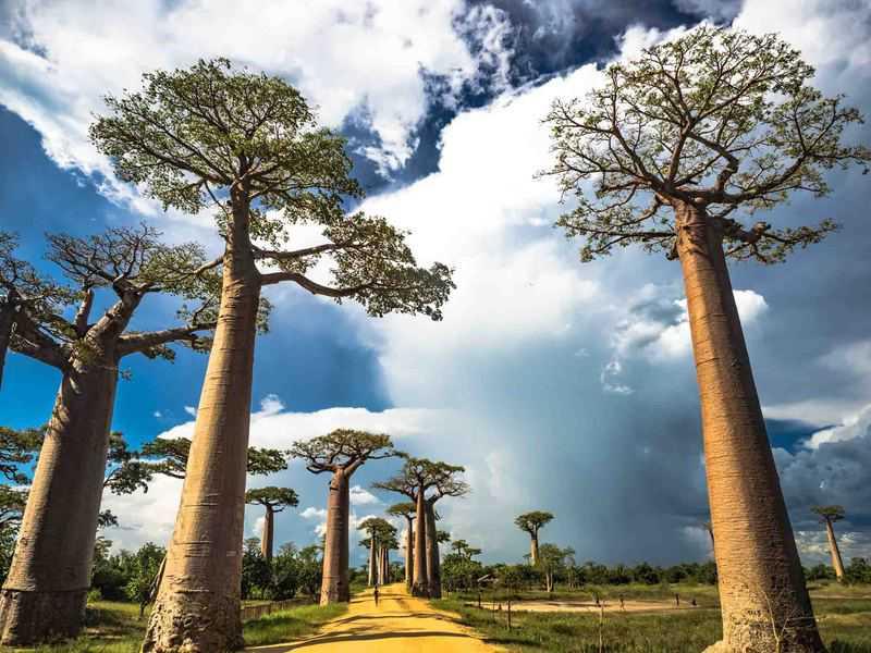 gambar pemandangan indah di luar negeri Avenue of the Baobabs Madagascar