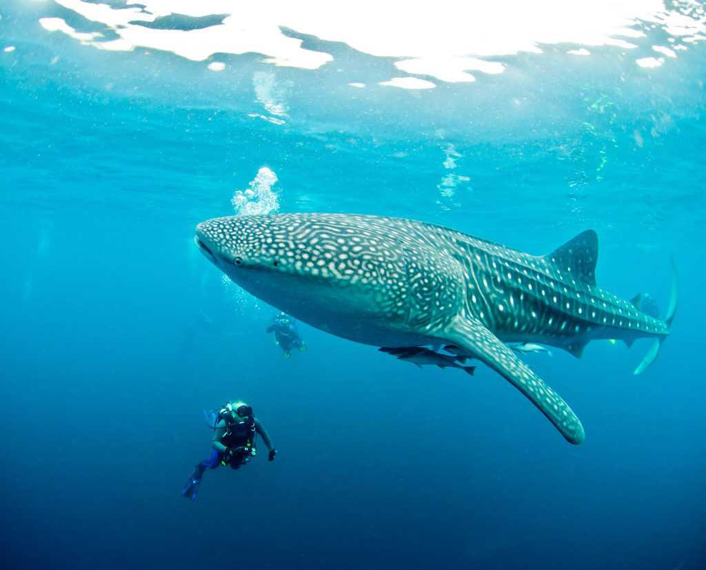 Whale Shark in Padre Burgos